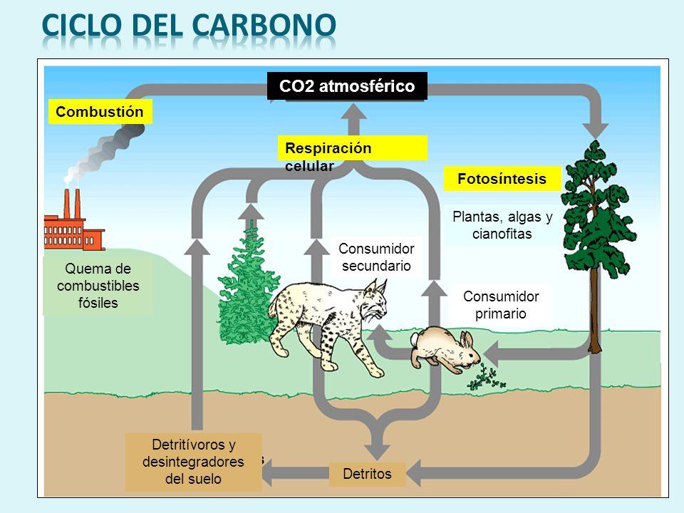 Ciclo del carbono CO2 atmosférico Combustión Respiración celular