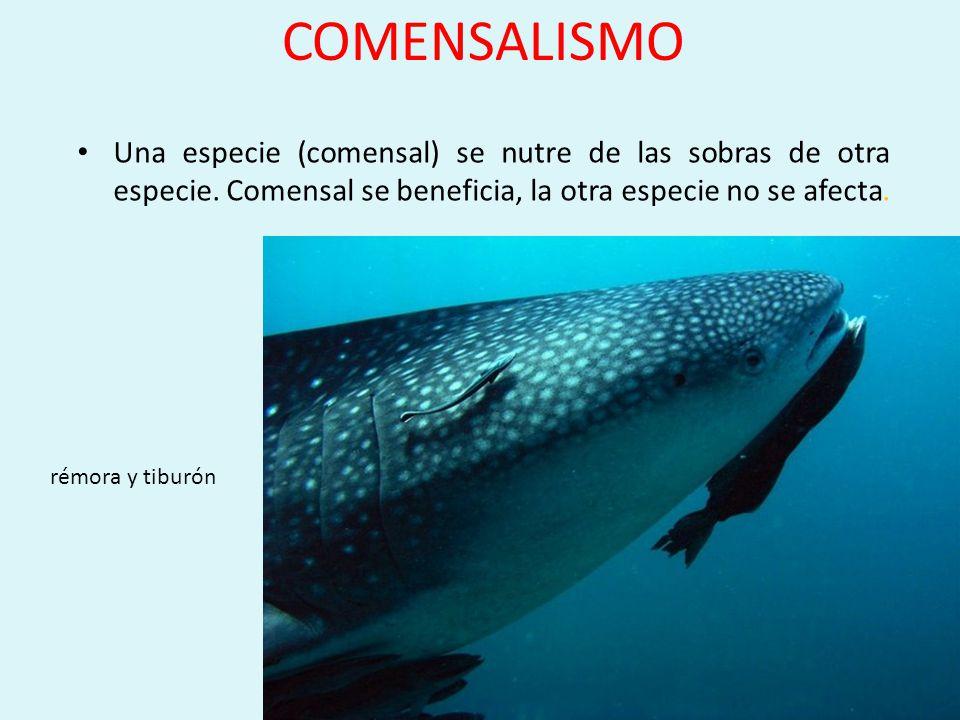 COMENSALISMO Una especie (comensal) se nutre de las sobras de otra especie. Comensal se beneficia, la otra especie no se afecta.