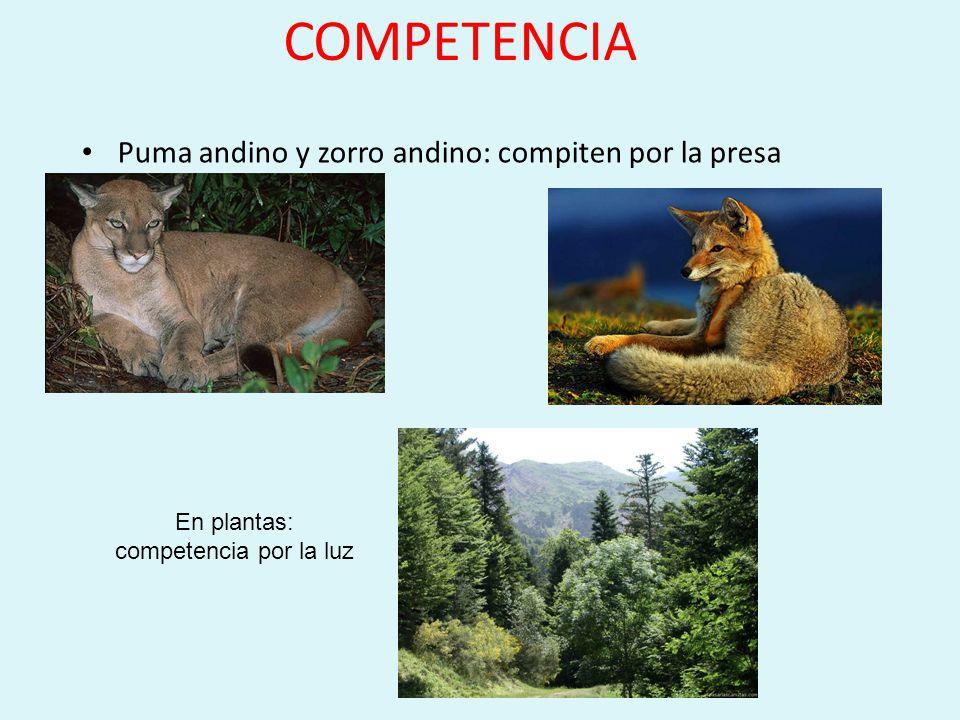 COMPETENCIA Puma andino y zorro andino: compiten por la presa