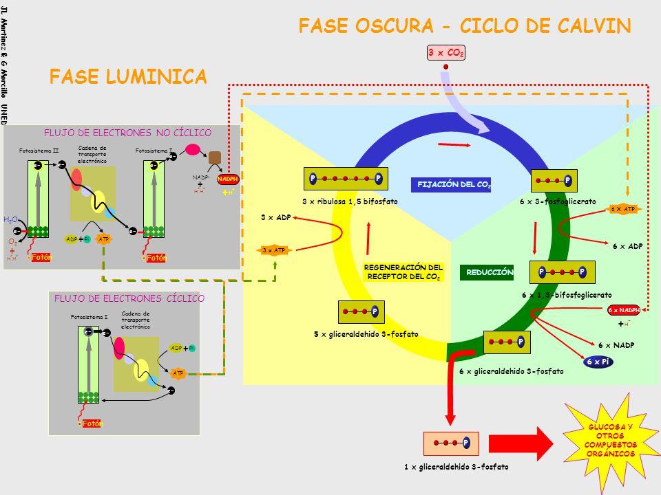 FASE OSCURA - CICLO DE CALVIN