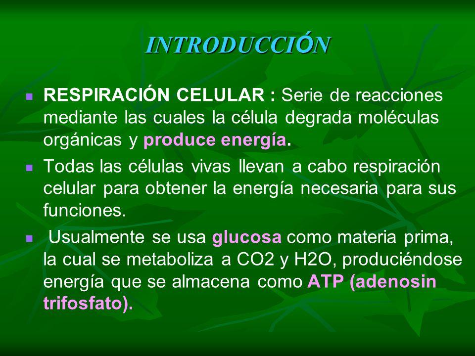 INTRODUCCIÓN RESPIRACIÓN CELULAR : Serie de reacciones mediante las cuales la célula degrada moléculas orgánicas y produce energía.