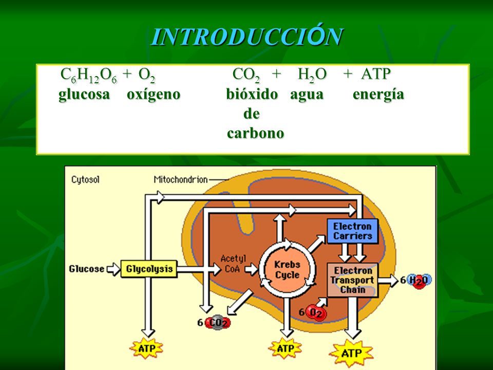 INTRODUCCIÓN C6H12O6 + O2 CO2 + H2O + ATP