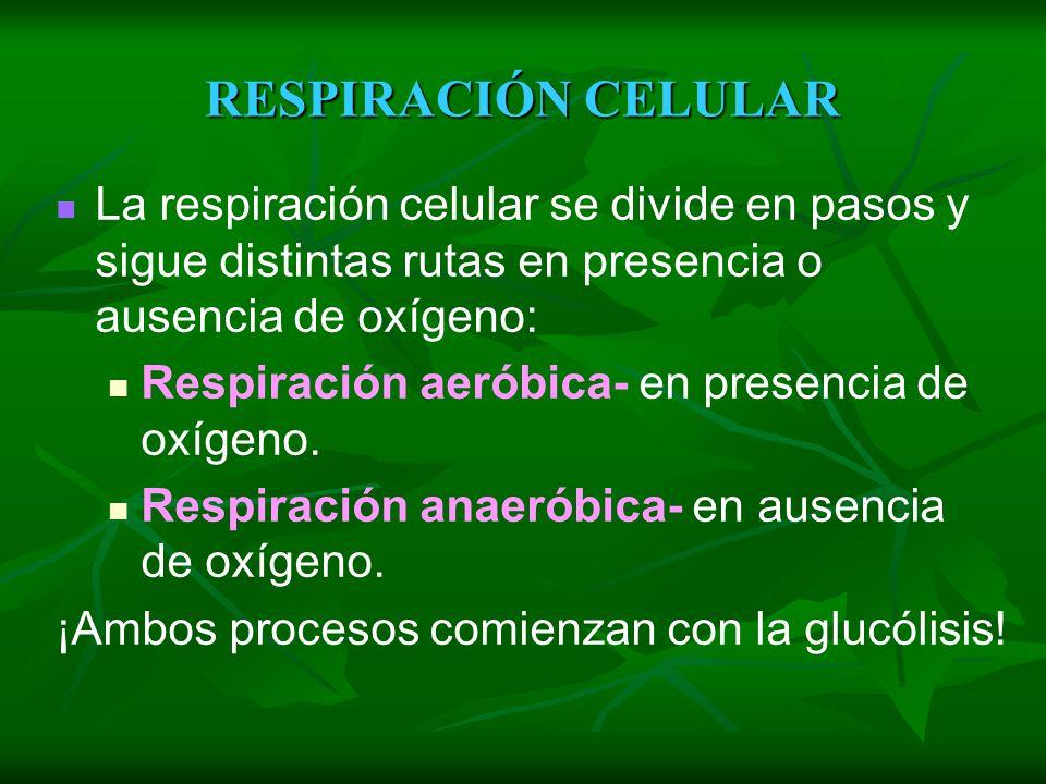 RESPIRACIÓN CELULAR La respiración celular se divide en pasos y sigue distintas rutas en presencia o ausencia de oxígeno: