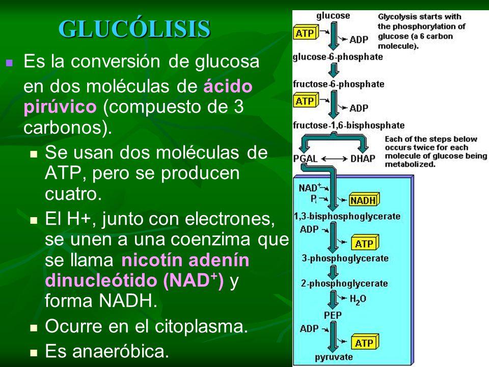 GLUCÓLISIS Es la conversión de glucosa