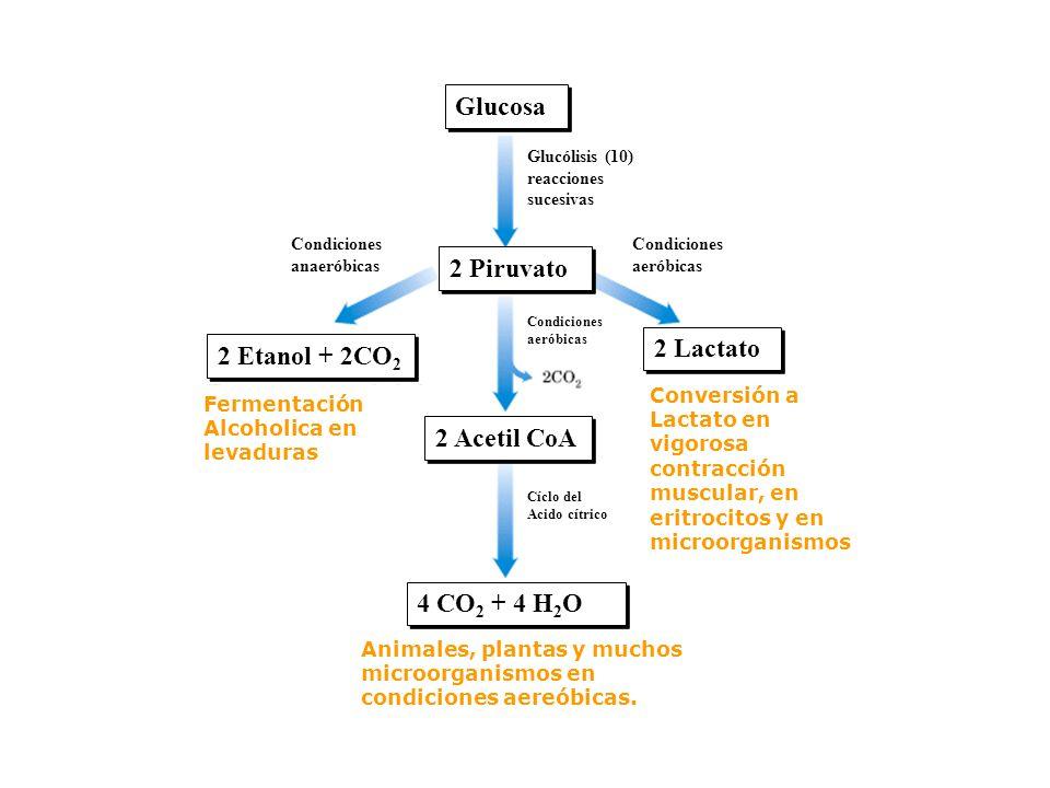 Glucosa 2 Piruvato 2 Lactato 2 Etanol + 2CO2 2 Acetil CoA