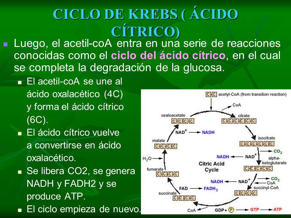 CICLO DE KREBS ( ÁCIDO CÍTRICO)
