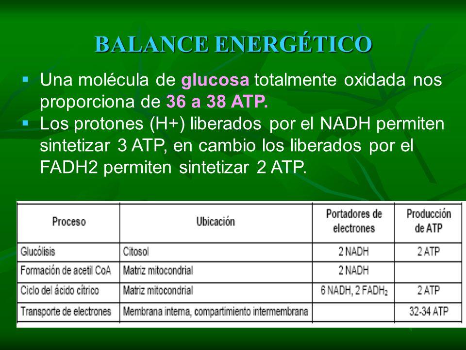 BALANCE ENERGÉTICO Una molécula de glucosa totalmente oxidada nos proporciona de 36 a 38 ATP.