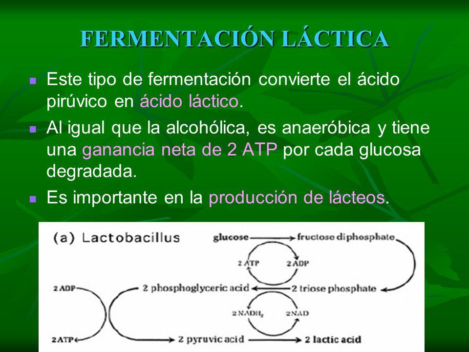 FERMENTACIÓN LÁCTICA Este tipo de fermentación convierte el ácido pirúvico en ácido láctico.
