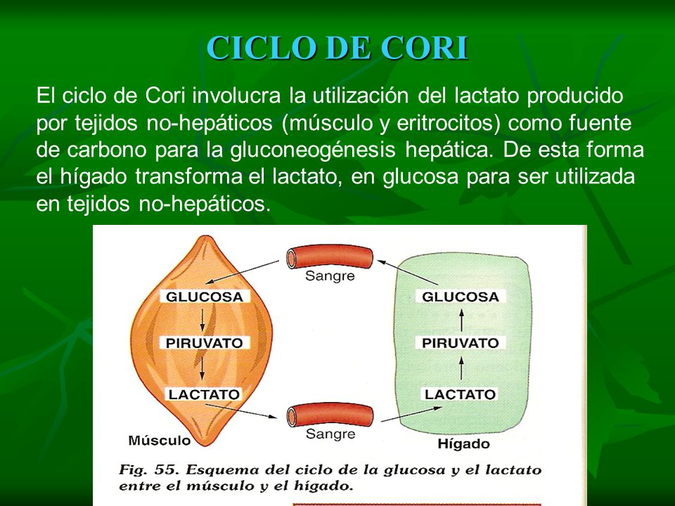 CICLO DE CORI