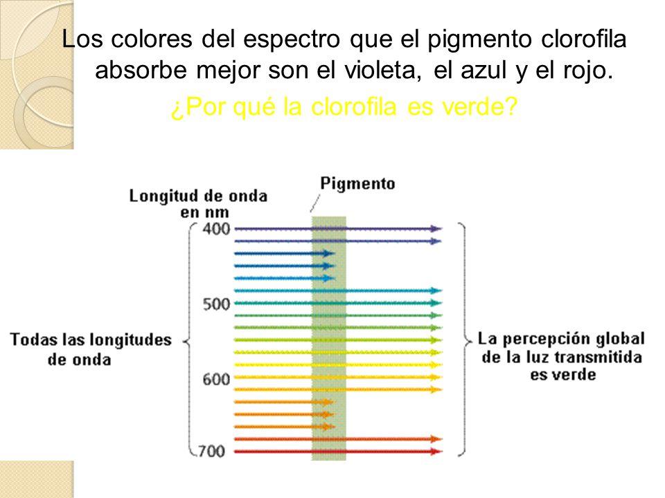 ¿Por qué la clorofila es verde