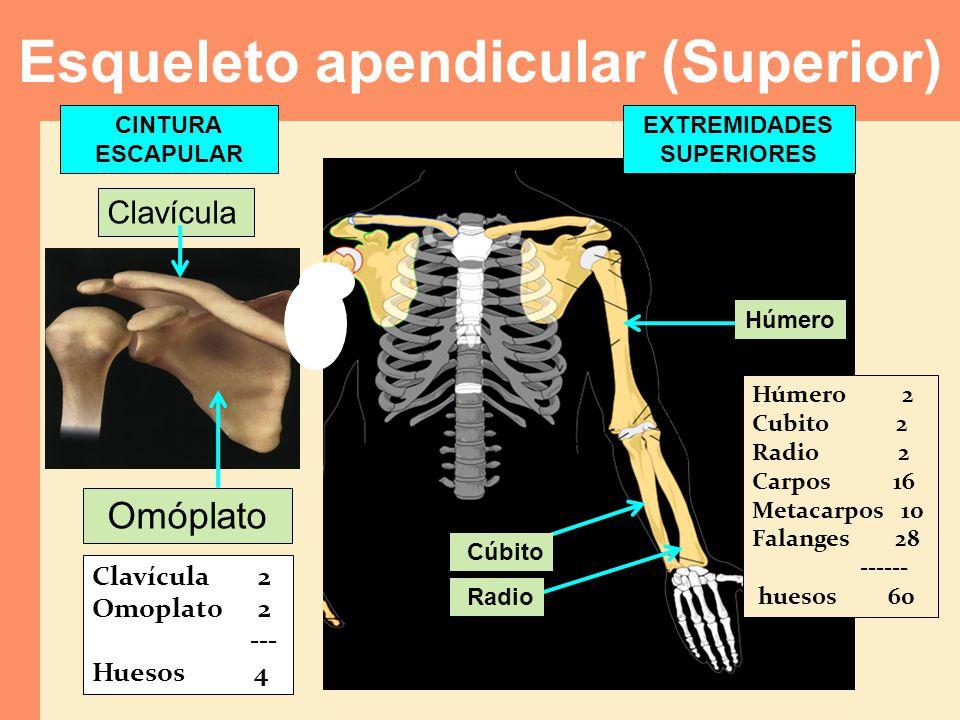 Esqueleto apendicular (Superior)