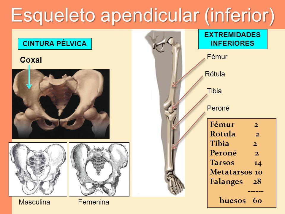 Esqueleto apendicular (inferior)