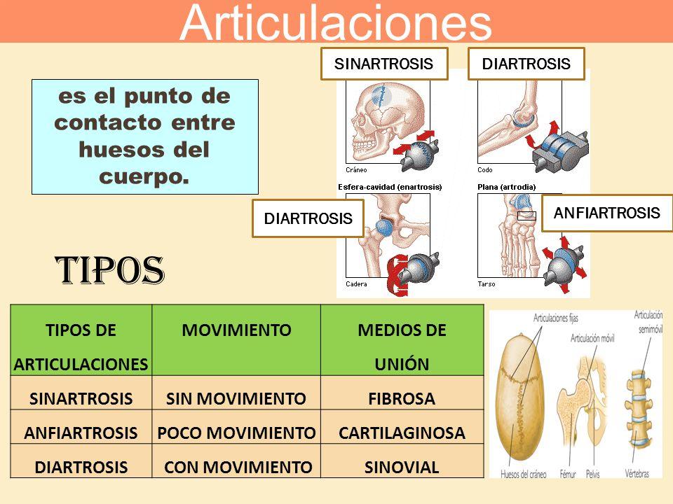 es el punto de contacto entre huesos del cuerpo.