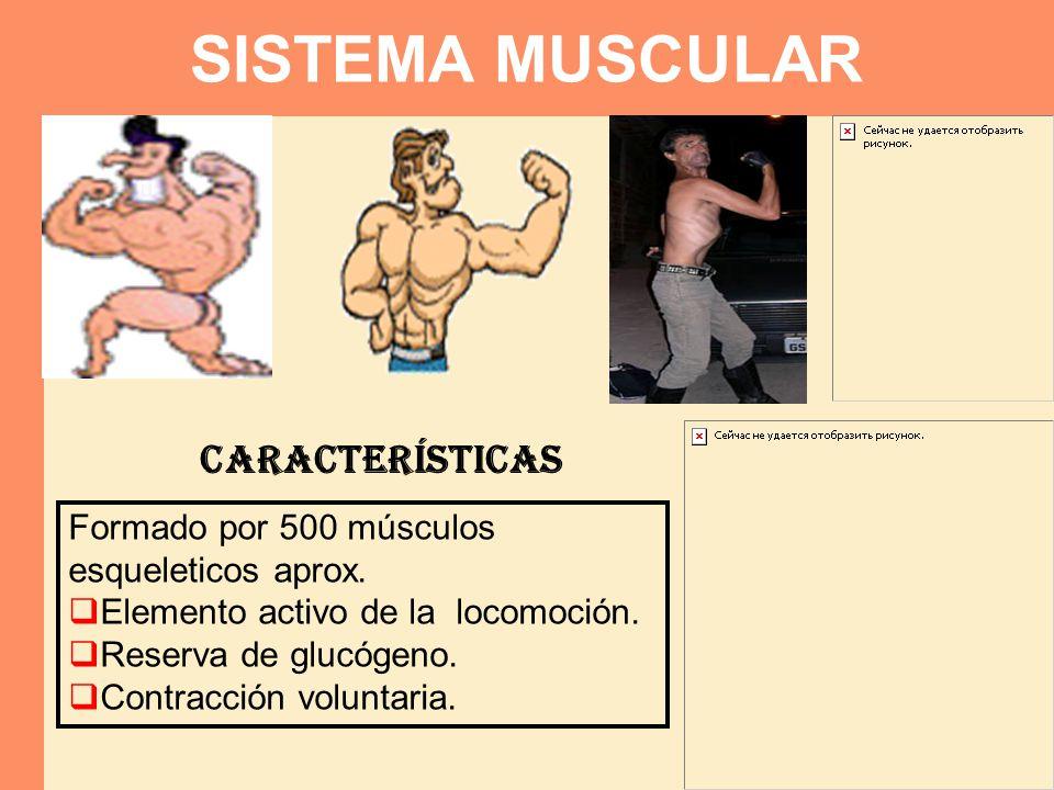 SISTEMA MUSCULAR Formado por 500 músculos esqueleticos aprox.