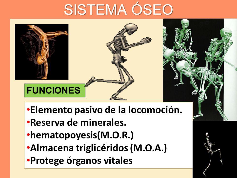 SISTEMA ÓSEO Elemento pasivo de la locomoción. Reserva de minerales.