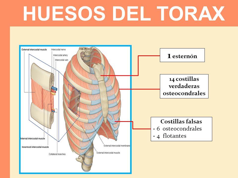 HUESOS DEL TORAX 1 esternón 14 costillas verdaderas osteocondrales