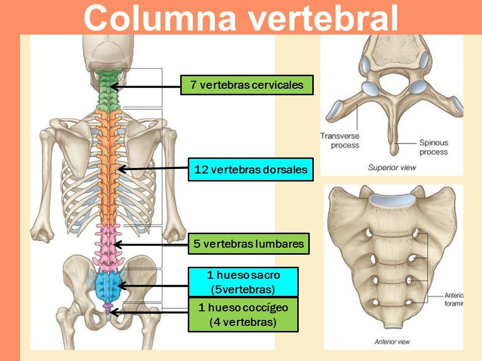 Columna vertebral 7 vertebras cervicales 12 vertebras dorsales
