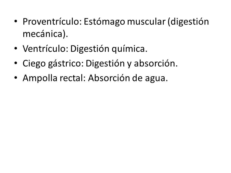 Proventrículo: Estómago muscular (digestión mecánica).