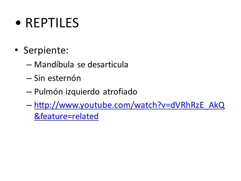 REPTILES Serpiente: Mandíbula se desarticula Sin esternón