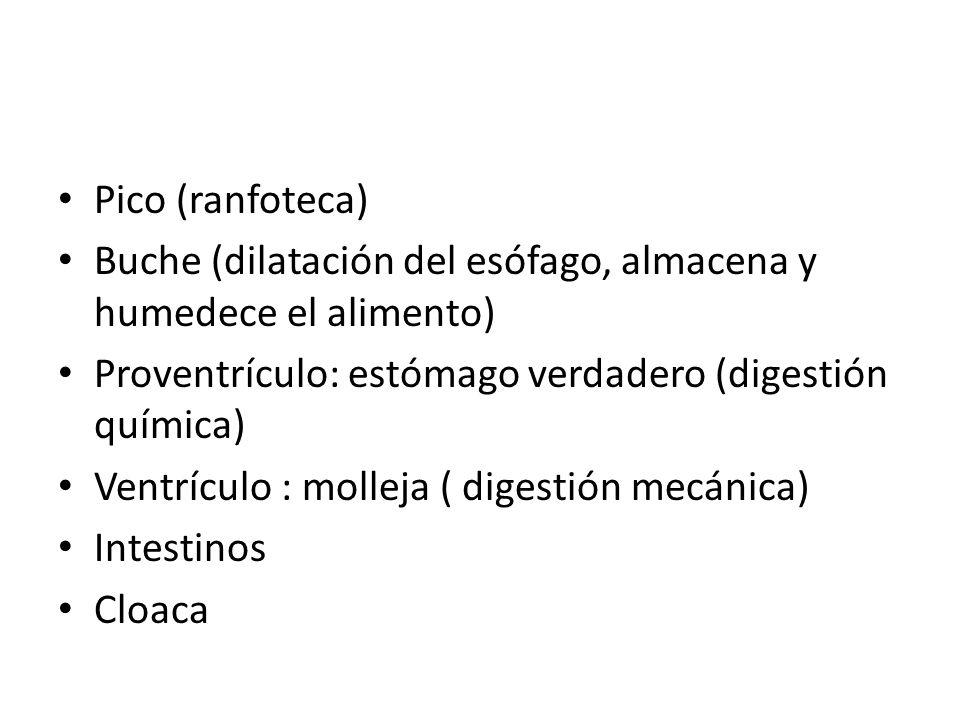 Pico (ranfoteca) Buche (dilatación del esófago, almacena y humedece el alimento) Proventrículo: estómago verdadero (digestión química)