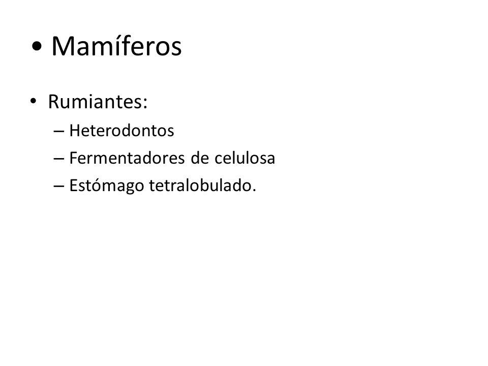 Mamíferos Rumiantes: Heterodontos Fermentadores de celulosa