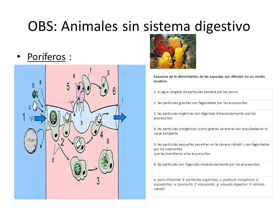 OBS: Animales sin sistema digestivo