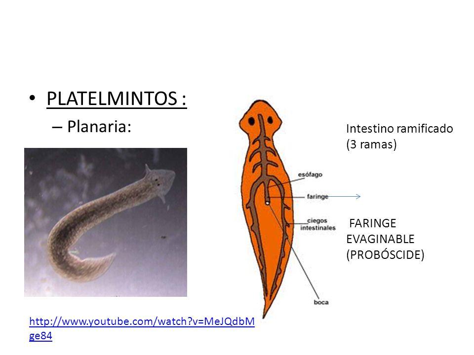 PLATELMINTOS : Planaria: Intestino ramificado (3 ramas)
