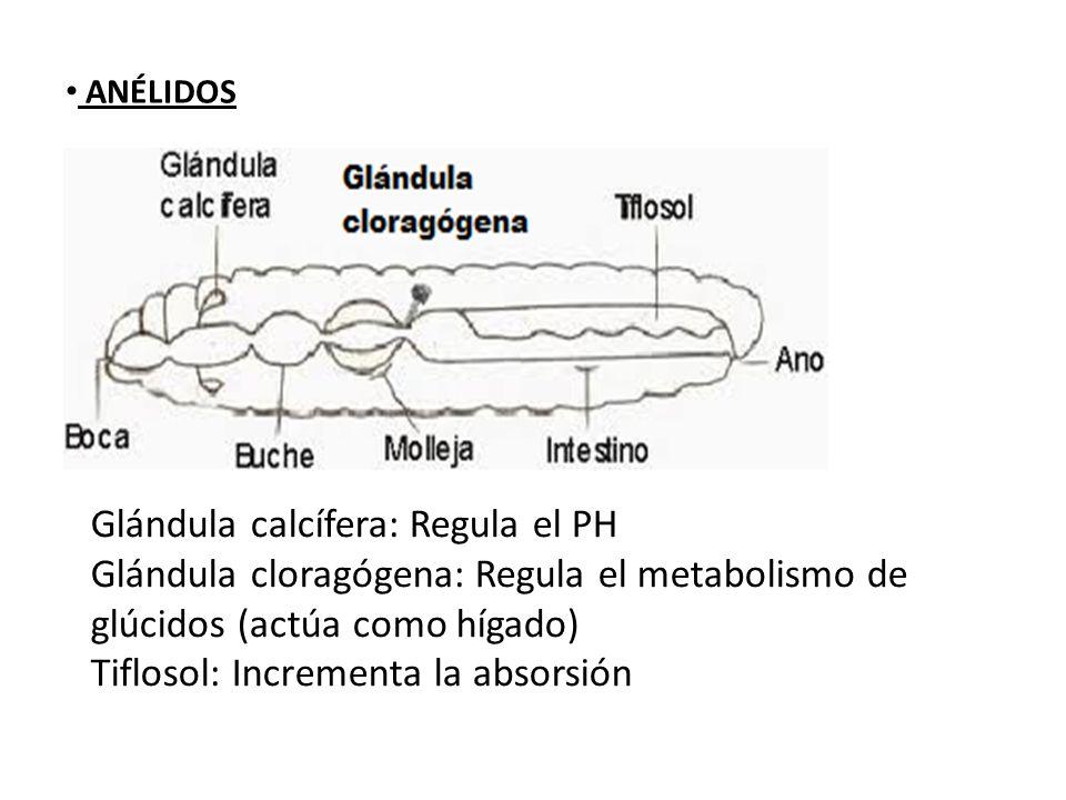 Glándula calcífera: Regula el PH