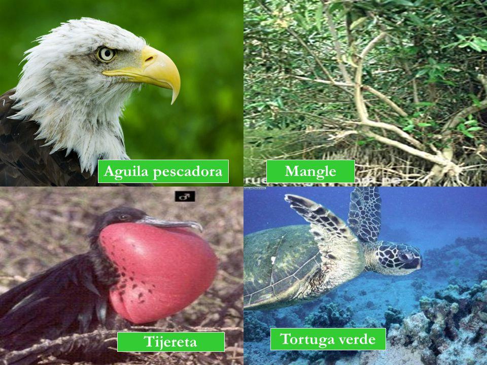 Aguila pescadora Mangle Tortuga verde Tijereta