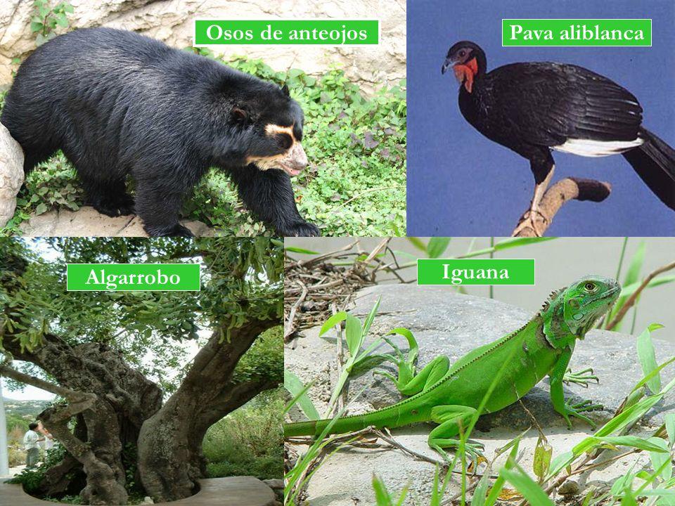 Osos de anteojos Pava aliblanca Iguana Algarrobo
