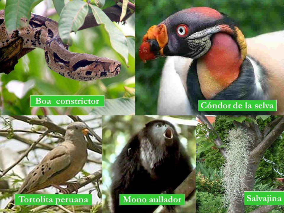 Boa constrictor Cóndor de la selva Salvajina Tortolita peruana Mono aullador