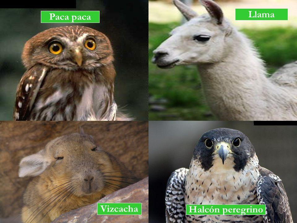Llama Paca paca Vizcacha Halcón peregrino