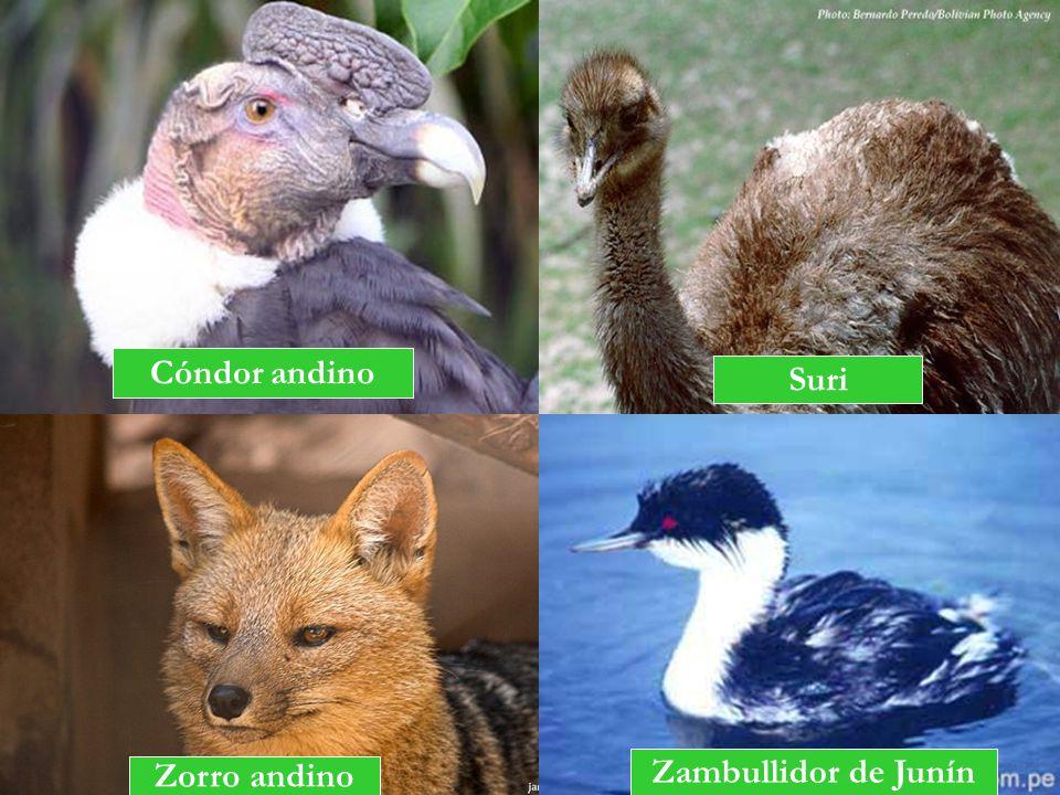 Cóndor andino Suri Zambullidor de Junín Zorro andino