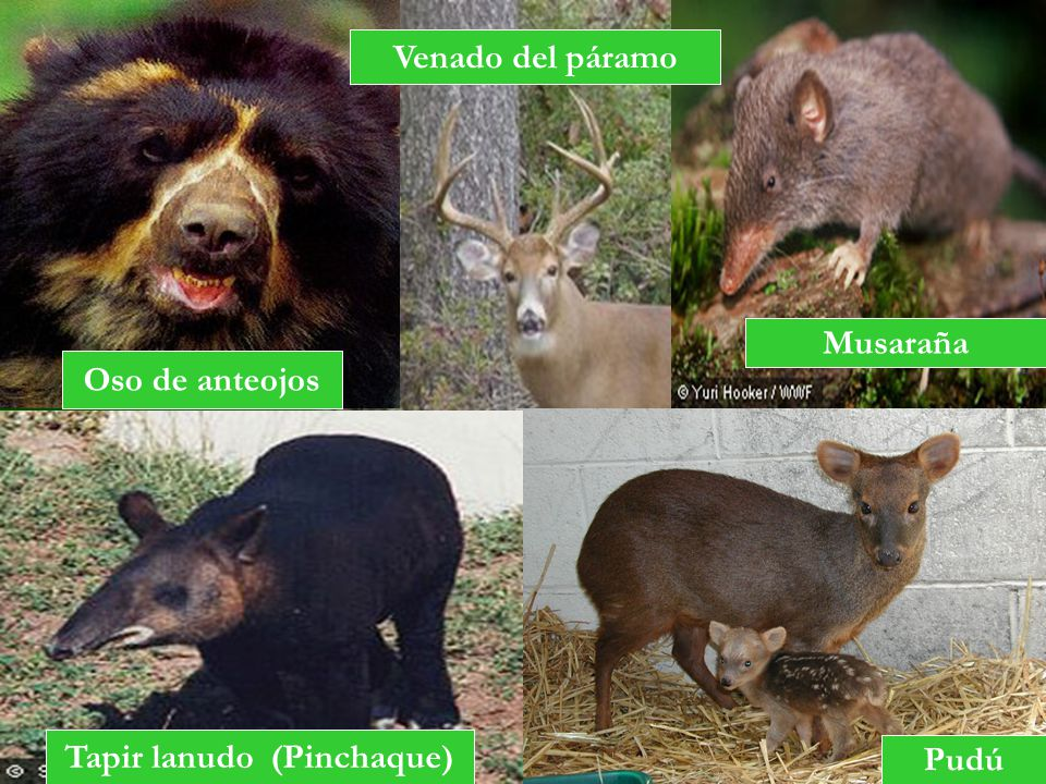 Tapir lanudo (Pinchaque)