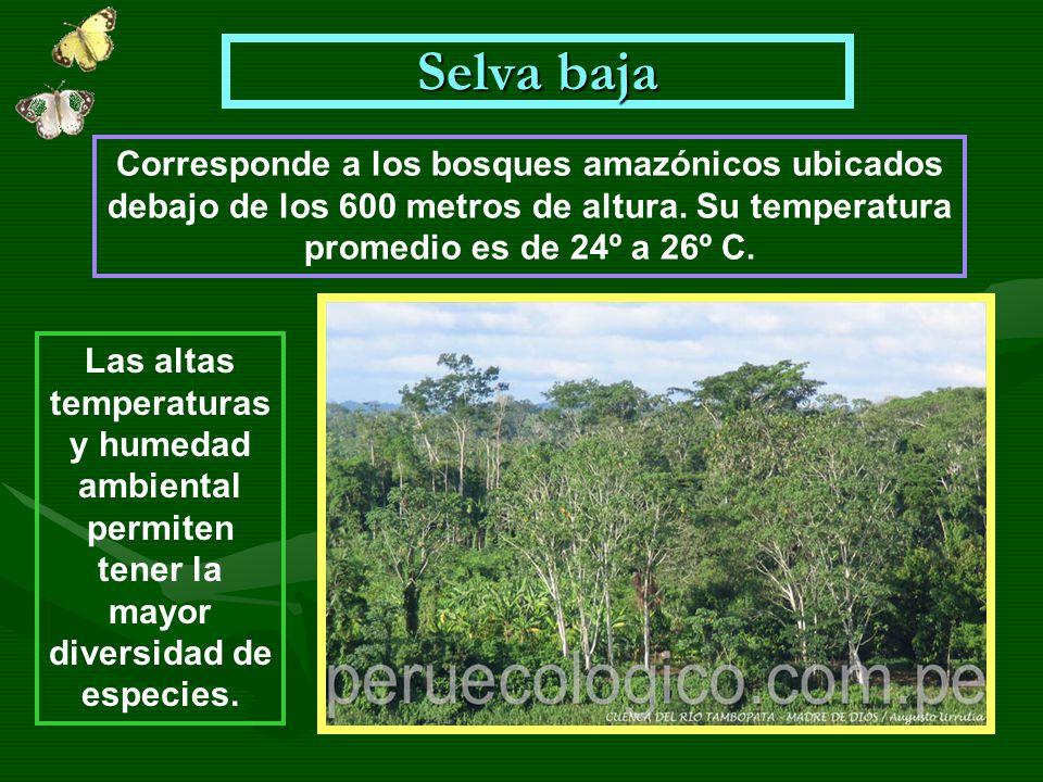 Selva baja Corresponde a los bosques amazónicos ubicados debajo de los 600 metros de altura. Su temperatura promedio es de 24º a 26º C.