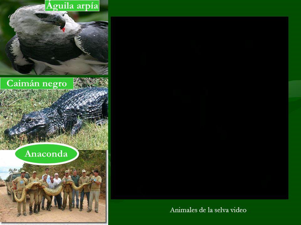 Águila arpía Caimán negro Anaconda