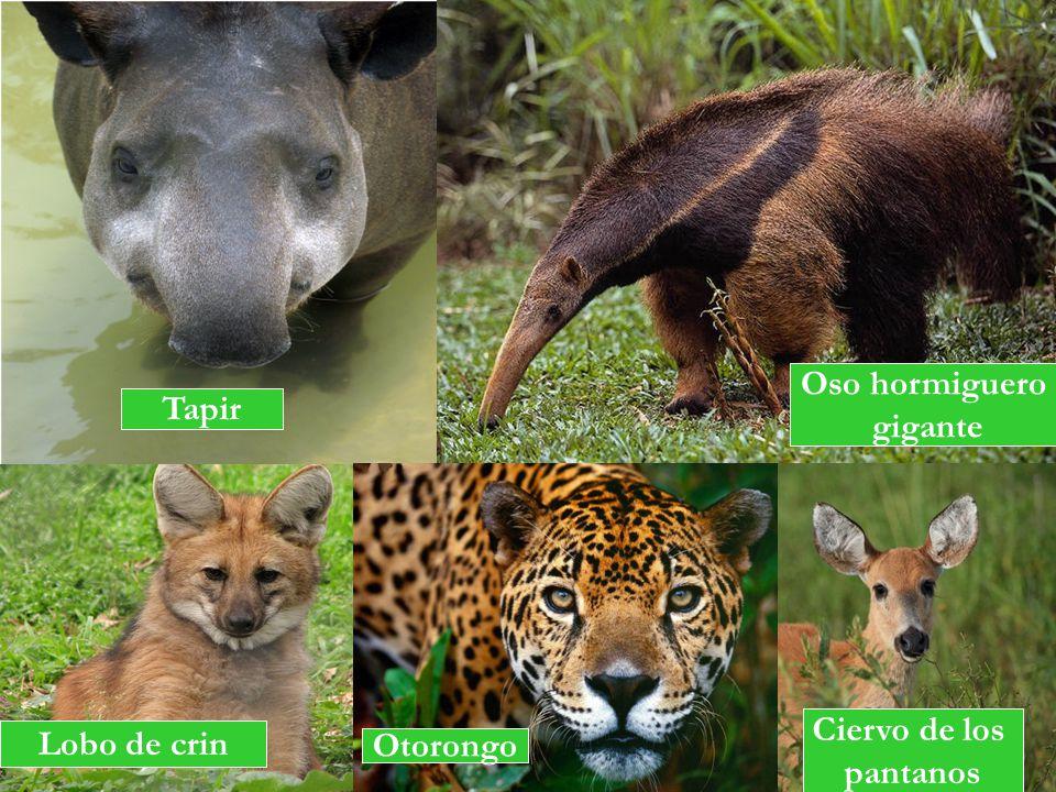 Oso hormiguero gigante Tapir Ciervo de los pantanos Lobo de crin Otorongo