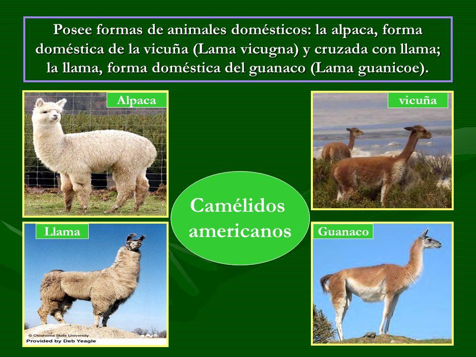 Posee formas de animales domésticos: la alpaca, forma doméstica de la vicuña (Lama vicugna) y cruzada con llama; la llama, forma doméstica del guanaco (Lama guanicoe).