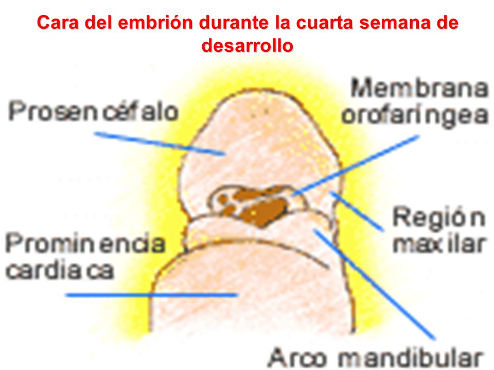 Cara del embrión durante la cuarta semana de desarrollo