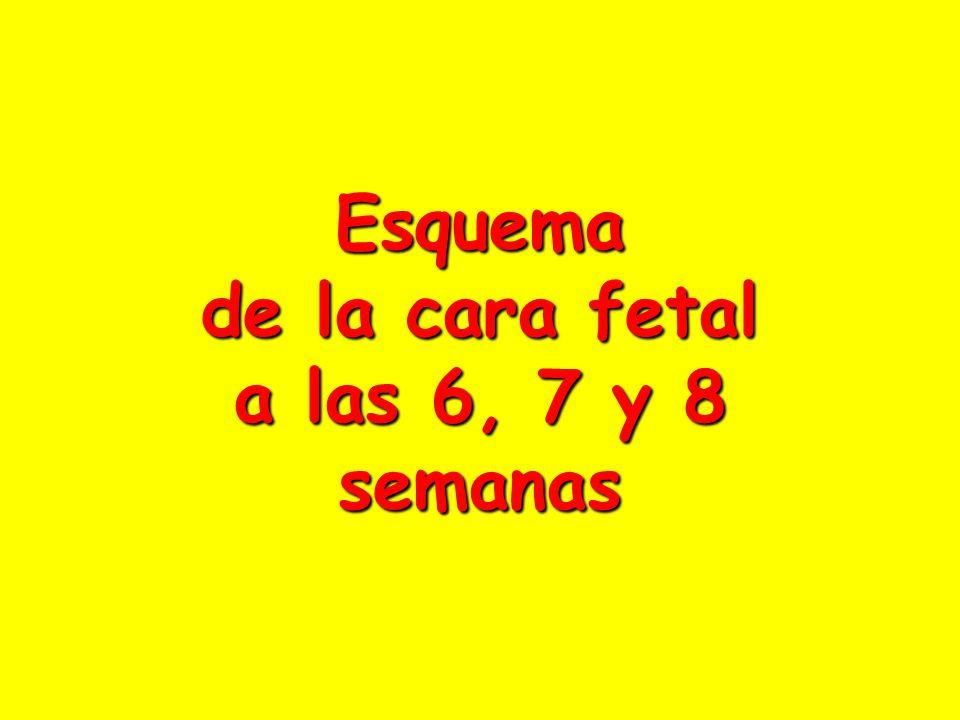 Esquema de la cara fetal a las 6, 7 y 8 semanas