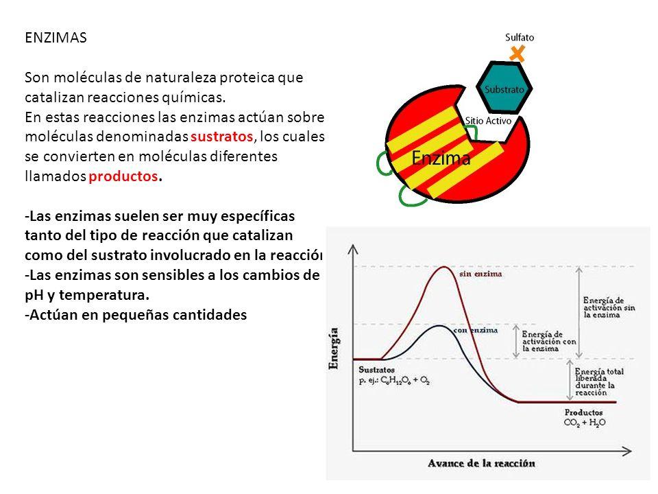 ENZIMAS Son moléculas de naturaleza proteica que catalizan reacciones químicas.