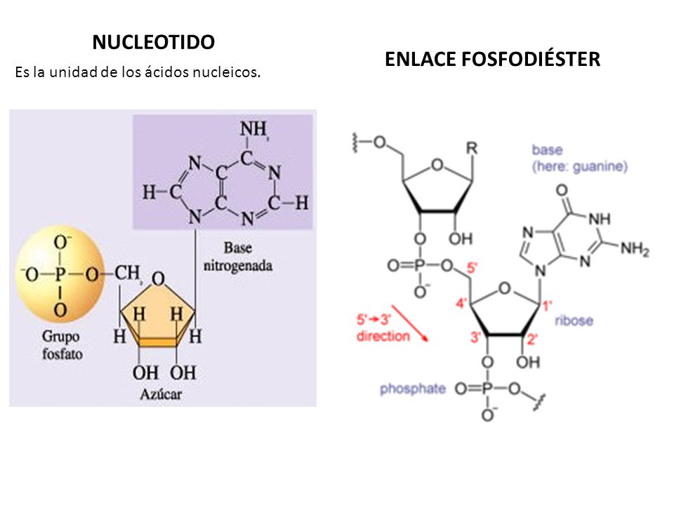 NUCLEOTIDO ENLACE FOSFODIÉSTER