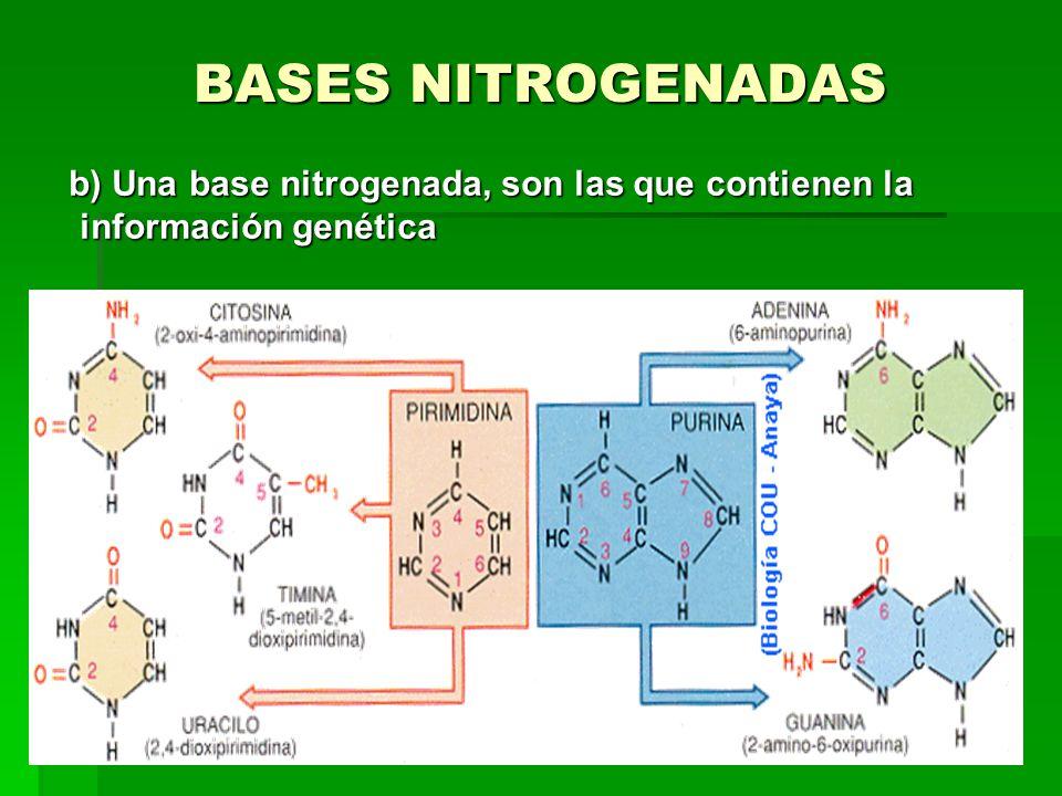 BASES NITROGENADAS b) Una base nitrogenada, son las que contienen la información genética