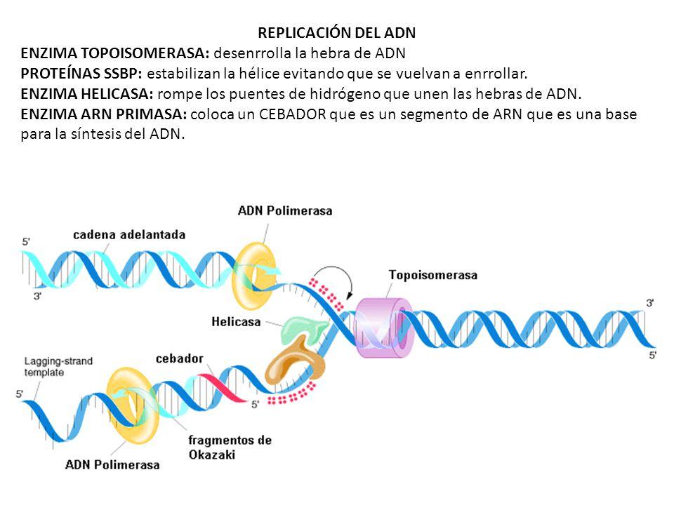 REPLICACIÓN DEL ADN ENZIMA TOPOISOMERASA: desenrrolla la hebra de ADN. PROTEÍNAS SSBP: estabilizan la hélice evitando que se vuelvan a enrrollar.