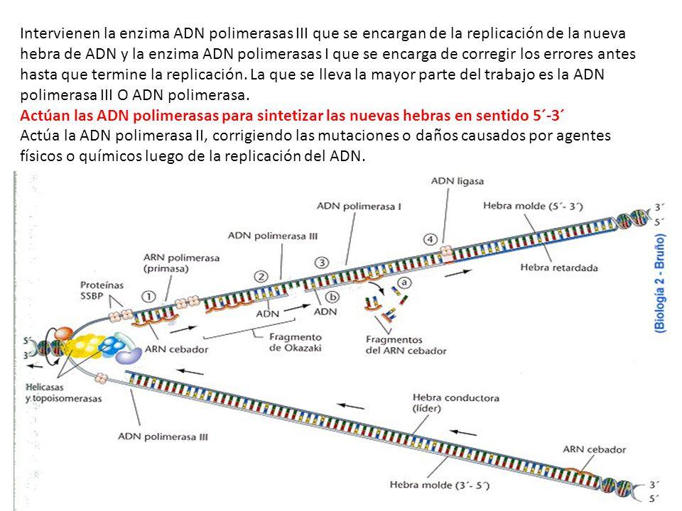 Intervienen la enzima ADN polimerasas III que se encargan de la replicación de la nueva hebra de ADN y la enzima ADN polimerasas I que se encarga de corregir los errores antes hasta que termine la replicación. La que se lleva la mayor parte del trabajo es la ADN polimerasa III O ADN polimerasa.
