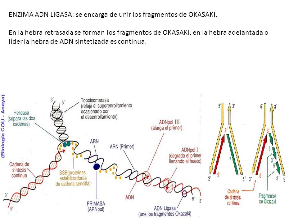 ENZIMA ADN LIGASA: se encarga de unir los fragmentos de OKASAKI.