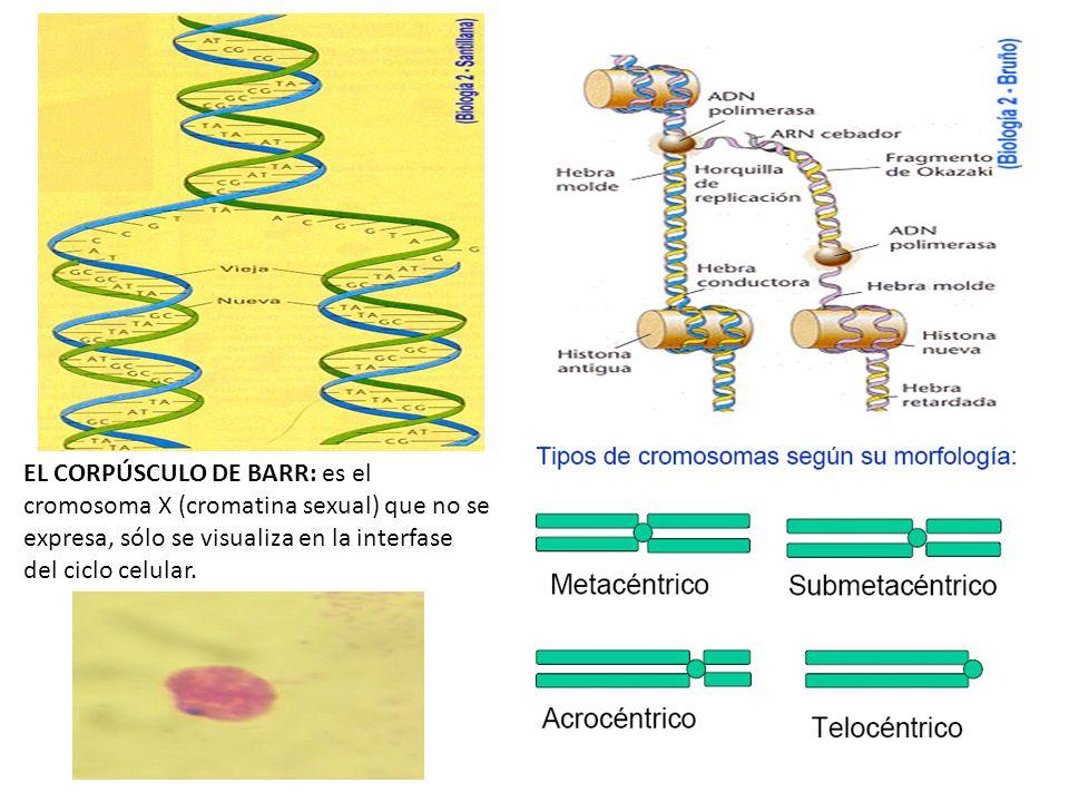 EL CORPÚSCULO DE BARR: es el cromosoma X (cromatina sexual) que no se expresa, sólo se visualiza en la interfase del ciclo celular.