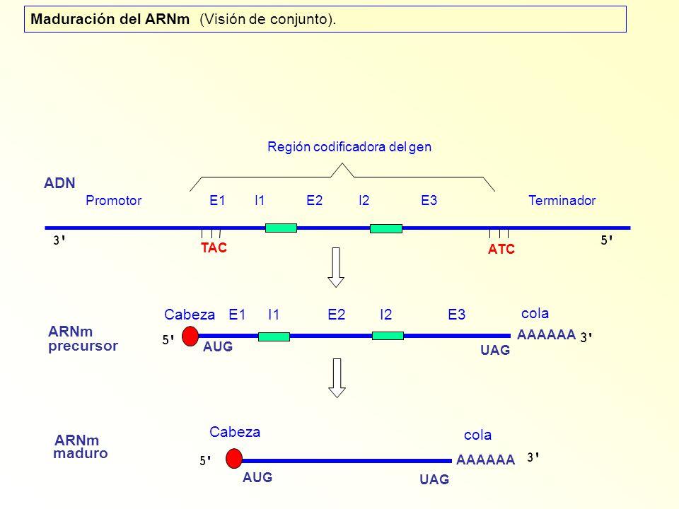 Maduración del ARNm (Visión de conjunto).