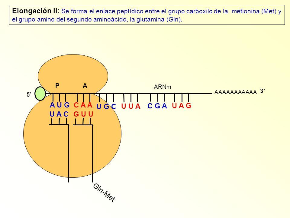 Elongación II: Se forma el enlace peptídico entre el grupo carboxilo de la metionina (Met) y el grupo amino del segundo aminoácido, la glutamina (Gln).