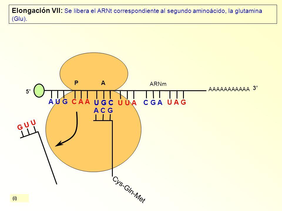 Elongación VII: Se libera el ARNt correspondiente al segundo aminoácido, la glutamina (Glu).